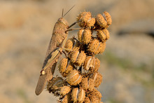 Saltamontes Sobre Una Arbusto Marrón Al Amanecer (Calliptamus Barbarus) Marbella Andalucía España