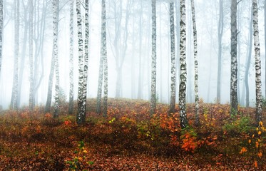Fototapeta Brzoza Panoramic view of the misty birch forest on a cloudy autumn day. Tree trunks in a morning fog. Colorful yellow, orange and red leaves on the ground. Fairy landscape. Finland