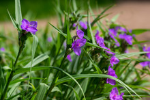 Tradescantia Virginiana The Virginia Spiderwort Purple Violet Flowering Plants, Three Petals Flowers In Bloom