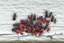 Box Elder Bugs In A Cluster On...