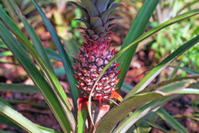 Red Pineapple With Green Leave...
