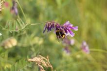 Bumblebee On A Wild Flower On ...