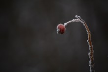 Close-up Of Frozen Rose Hip Plant During Winter