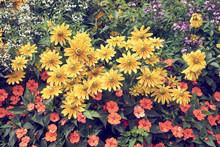 Fleurs Variété Rudbeckia .