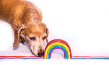 Miniature Dachshund Rainbow