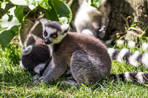 Naklejka premium Ringtail Lemur Sitting On Grassy Field At Zoo