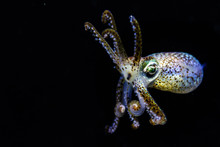 Close-up Of Bobtail Squid Against Black Background