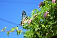 Scarce Swallowtail Is Drinking...