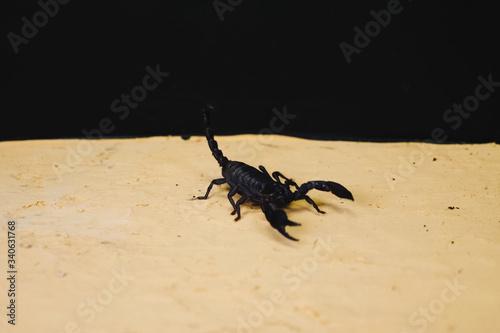 Photo Scorpio in terrarium. Black scorpion is a poisonous arthropod.