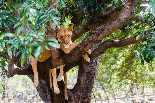 Valokuvatapetti Lioness on a branch