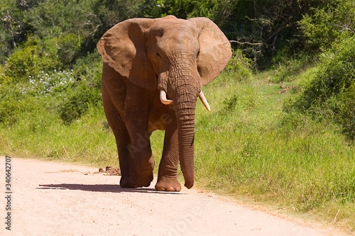 Lonely young African elephant walking along a gravel road Canvas Print