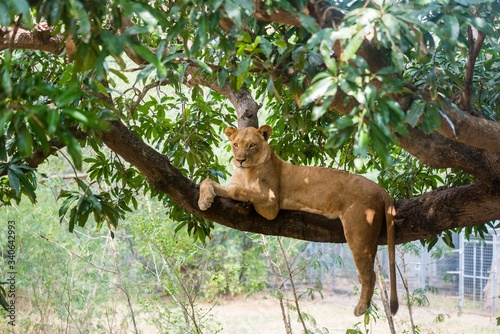 Fotografie, Tablou Lioness on a branch