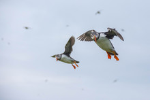 Low Angle View Of Puffins Flying Against Sky