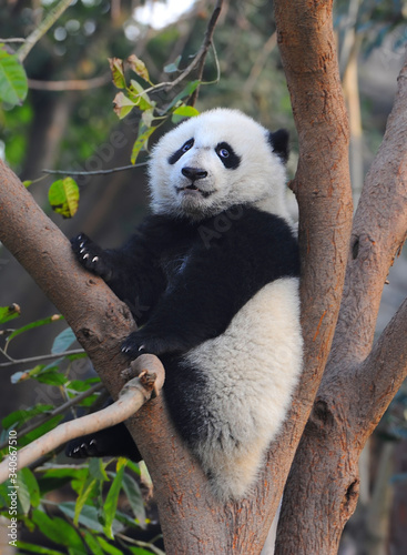 Fototapety, obrazy: Cute giant panda bear climbing in tree