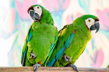 Close-up Of Great Green Macaws Perching On Branch