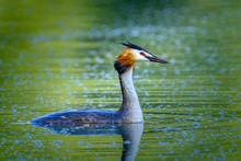 Close-up Of Great Blue Heron Swimming On Lake