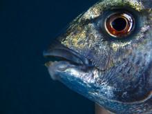 Fish Teeth Of A Wild Atlantic ...