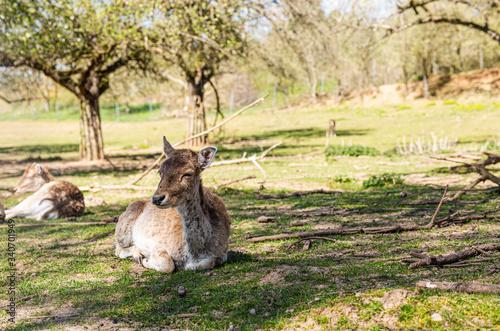 Sarny i jelenie w naturalnym srodowisku.  Dzikie zwierzeta z bliska.  Dzika przyroda z bliska. Mlode i dorosle jeleni i sarny. Wypoczynek zwierzat.  Mlody daniel. Zwierzeta na wolnosci.