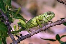 Mediterranean Chameleon (Chamaeleo Chamaeleon) Climbing In An Almond Tree - Murcia, Spain / Europäisches Chamäleon  Klettert In Einem Mandelbaum - Murcia, Spanien