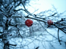 Close-up Of Frozen Rose Hip On Tree