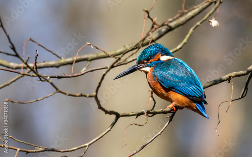 Kingfisher on the branch, Alcedo atthis  - fototapety na wymiar