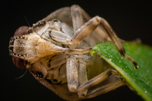 Jumping Bug, Ventral View