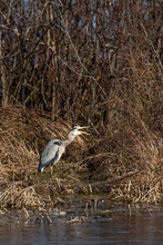 Great Blue Heron (Ardea Herodias) Standing In Wisconsin Wetlands And Yawning
