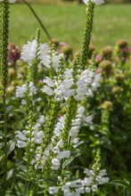The Obedient Plant (Physostegi...