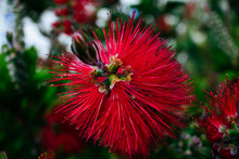 Close Up Of Red Bottlebrush Pl...