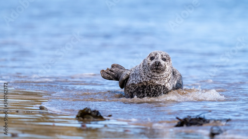 Common seal (harbour seal) coming ashore in gentle surf washing a beach in soft Canvas Print