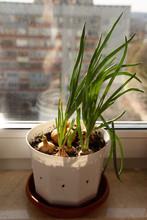 Green Fresh Onions Grow In A W...