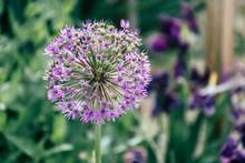 Purple Thistle Flower