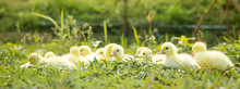Yellow Duckling From Nature. C...