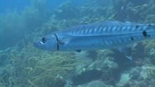 Barracuda Close Up