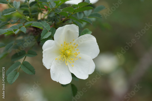 Photo white rose, Dunwich Rose (HSpn  Wild Rose)