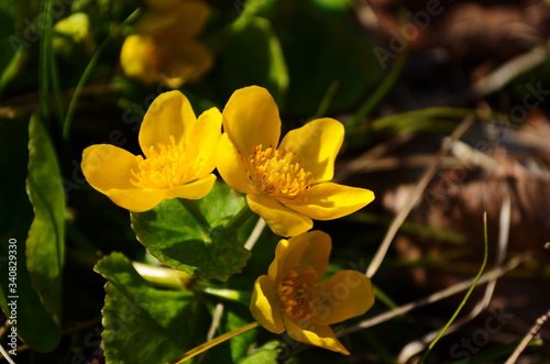 Fototapeta Caltha palustris or kingcup yellow flower, perennial herbaceous plant of the buttercup family obraz na płótnie