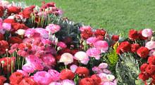 Ranunculus Flowers On Flowerbed