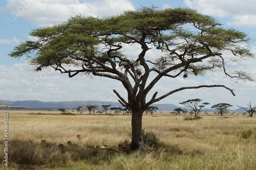 acacia tree in the savannah Wallpaper Mural