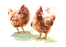 Two Young Brown Hens, Chiсken. Hand Drawn Watercolor Illustration Isolated On White Background