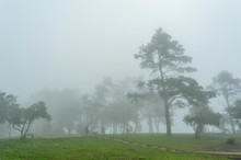 Pine Forest Mist In  Phu Rua N...