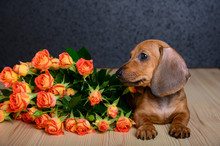 A Small Beautiful Young Dog Of Breed Dachshund Lies On A Wooden Textured Table And Looks Towards A Bouquet Of Roses That Lies Nearby. Studio, Black Background