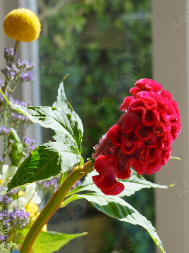 Fototapeta Red cockscomb flower in front of a window with refelctions, various other flower