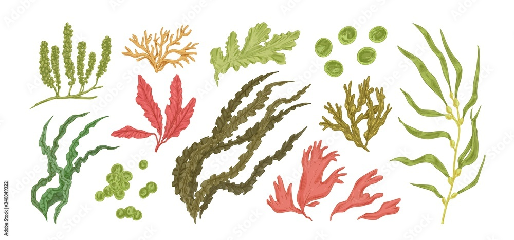Fototapeta Set of colorful hand drawn edible algae vector graphic illustration. Collection of different aquatic plants isolated on white background. Natural drawing botanical seaweed