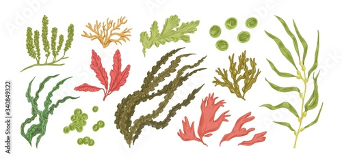 Fototapeta Set of colorful hand drawn edible algae vector graphic illustration. Collection of different aquatic plants isolated on white background. Natural drawing botanical seaweed obraz