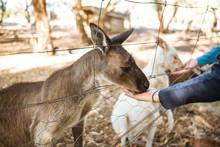 Feeding Kangaroo In The Zoo