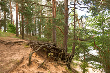 Pines With Open Roots On The Shores Of Lake Sapsho In Smolenskoye Poozerye