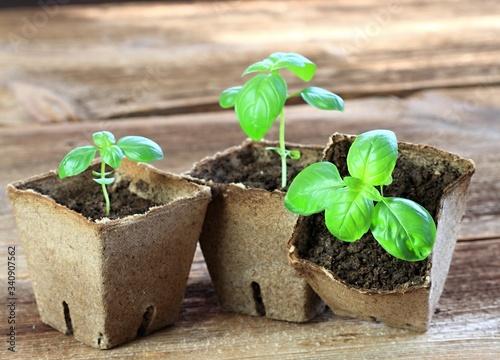 Fototapeta Young basil seedlings in pots. Small basil  in biodegradable pot, brown  wooden table. obraz