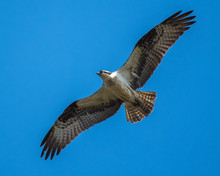 Osprey In Flight Looking For A...