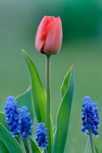 Red Tulip With Grape Hyacinths In Flowerbed. First Spring Flowers. Light At Dusk.
