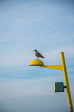 Sea Gull On A Lamp